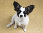 pic of linoleum  - Cute Puppy Papillon sitting on linoleum floor - JPG