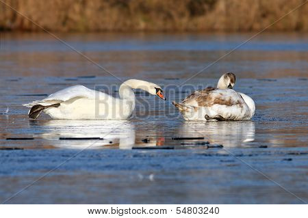 Swans Skating On Ice