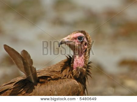 Hooded Vulture close up