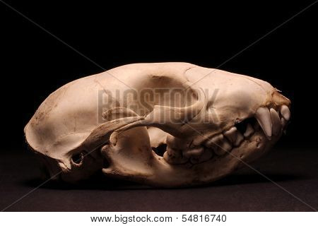 Raccoon Skull On Black Background