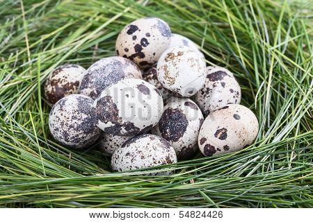 Dappled Quail Eggs In  Green-yellow Grass Nest