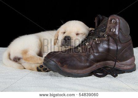 Puppy Labrador Sleeping On Old Walking Shoe