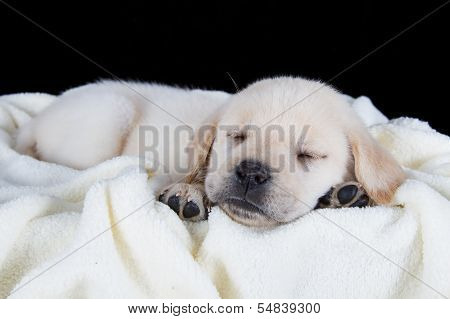 Puppy Labrador Sleeping On White Fluffy Blanket