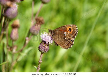 Arran Brown Butterfly