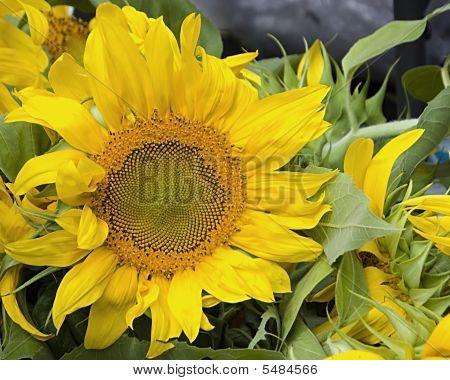 Sunflower Horzontal