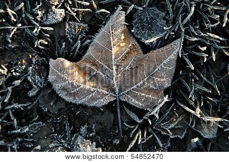 Fallen leaf with frost on the ground
