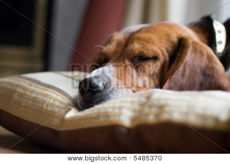 Beagle Dog Sleeping