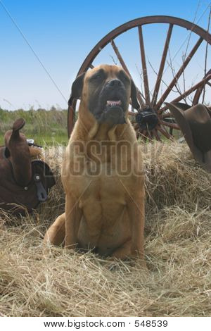 Bull Mastiff On The Farm