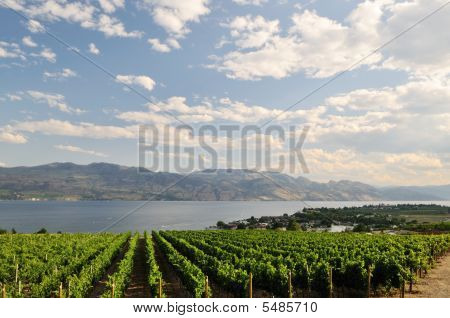 Vineyard On A Hillside Near Kelowna
