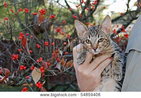 Domestic Serval Savannah Kitten