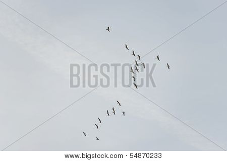 Wild geese flying in the sky at fall