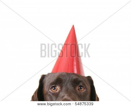 a chocolate lab with a party hat on