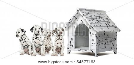 Pack of Dalmatian puppies sitting in a row next to a kennel, isolated on white