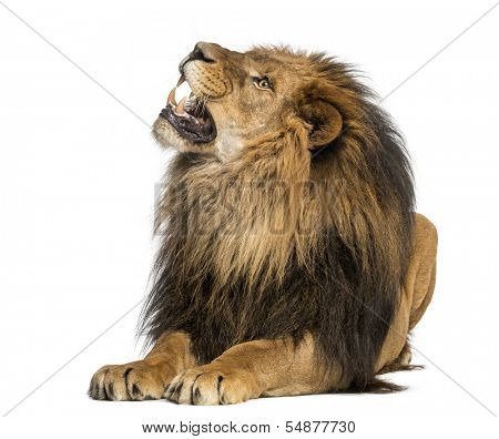 Lion lying, roaring, Panthera Leo, 10 years old, isolated on white