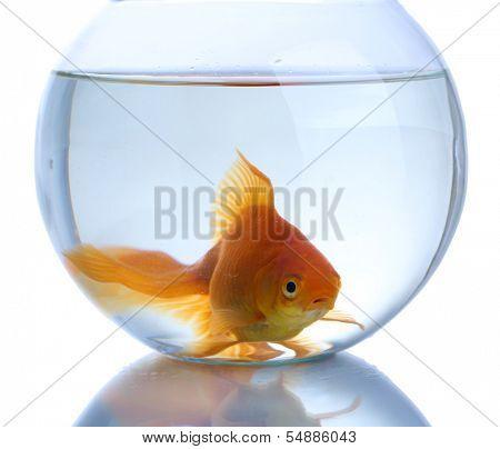 Goldfish in aquarium isolated on white