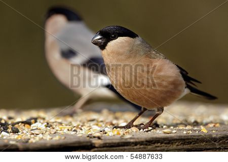 A female Northern Bullfinch (Pyrrhula pyrrhula).