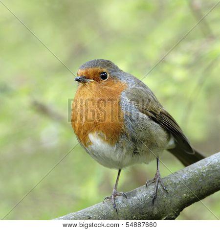 A European Robin (Erithacus rubecula).