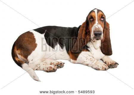 Basset Hound with sad eyes