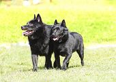 stock photo of low-necked  - Two young healthy beautiful black Schipperke dogs walking on the grass looking happy and playful - JPG