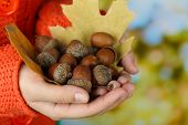 image of acorn  - Man hands with acorns - JPG