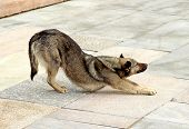 picture of arch foot  - Brown dog flexes pulling the front paws and arching his back - JPG