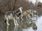 stock photo of carnivores  - Grey wolf howling to call the pack together - JPG