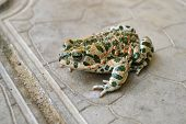 The Green Toad Living In The Anapa Area, Krasnodar Krai