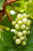stock photo of monk fruit  - Grape on the Vine at Gray Monk Vineyard - JPG