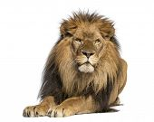 picture of leo  - Lion lying down - JPG