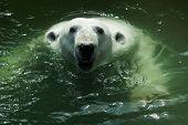 Portrait Of A Polar Bear poster