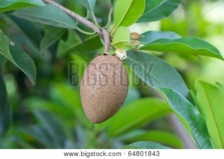 Sapodilla fruit growing on  tree