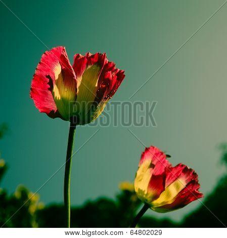 Pink Opium Flower