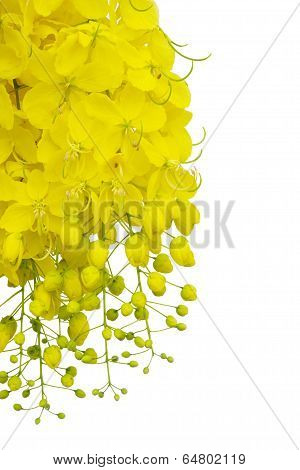 Cassia fistula flower  isolated on white background  ,Thai national flower