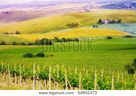 Vineyard in Tuscany landscape, Italy