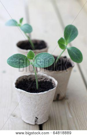 Zucchini sprouts