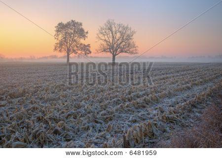 Dawn Landscape of Corn Field