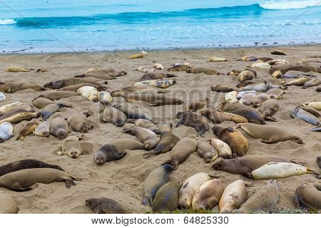 California Elephant Seals in Piedras Blancas point in South Big Sur inn Pacific Highway 1