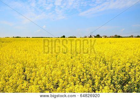 Canola Field, Rape Field