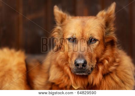 Mixed-bred Dog