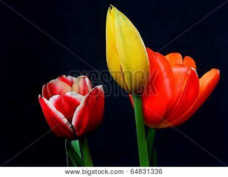 Orange Yellow And Crimson Tulips