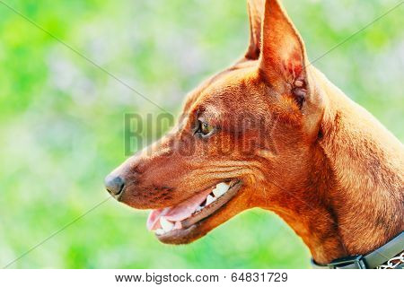 Close Up Brown Dog Miniature Pinscher Head