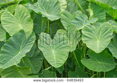 background with Colocasia antiquorum Schott  leaves.