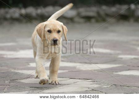 Male Labrador Puppy