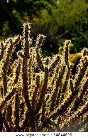 Cholla Cactus, Backlit Spiny Needles