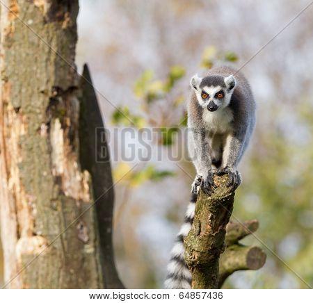Ring-tailed Lemur (lemur Catta) In A Tree