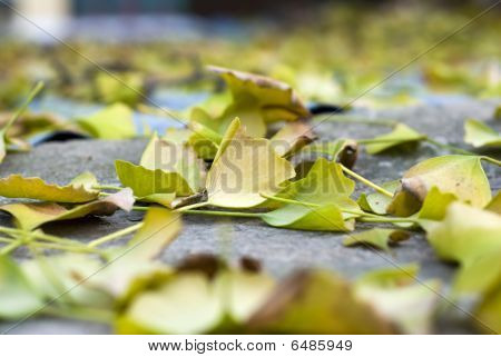 yellow fallen leaves of late autumn