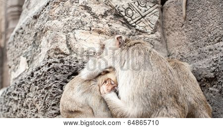 Lopburi Thailand. Monkey ( Crab-eating or Long-tailed macaque ) in Prang Sam Yot temple. Khmer ancient Buddhist pagoda ruins are famous thai tourist travel destination
