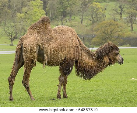 Bacrian Camel