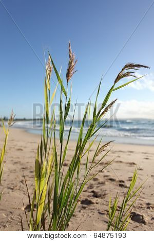 Beach Grass Glistening In The Morning Breeze
