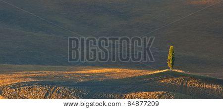 Tuscan Lone Cypress